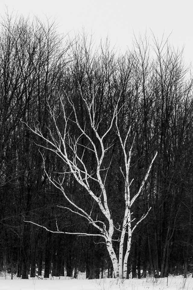 white-winter-birch-against-dark-forest